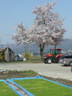 親戚宅の桜
