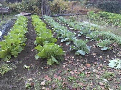 白菜、キャベツ畑
