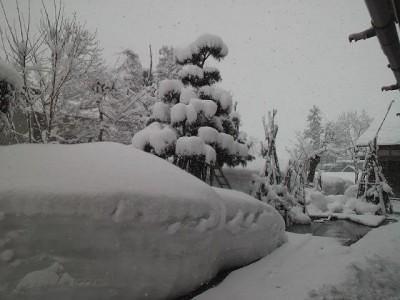 イトヒバにも雪が