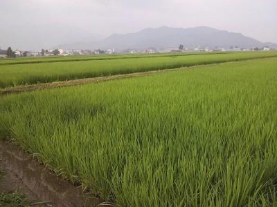 我が家の稲