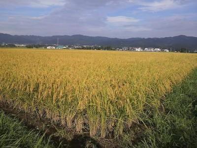 我が田の稲