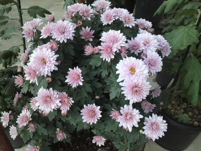 寅爺ちゃんの菊