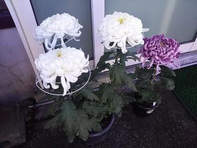 小林さんの菊